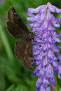 Juvenal s duskywing butterfly collecting nectar from a cow vetch flower Stock Photos