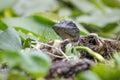 Juvenile American Alligator, Okefenokee Swamp National Wildlife Refuge