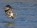 Juvenile American Bald Eagle Fish Grab Royalty Free Stock Photo