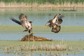 Juvenile bald eagles frolic over nest two display wings as they compete for fish goose Stock Photos