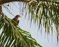 A juvenile Black Kite on a palm tree Royalty Free Stock Photo