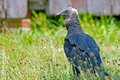 Juvenile Black Vulture Stock Image