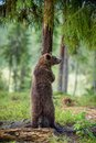 The juvenile brown bear standing on hinder legs. Royalty Free Stock Photo