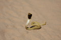 Juvenile cape cobra aggressive with flattened hood kgalagadi south africa Stock Photos
