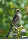 Juvenile Cape Sugarbird on an Acanthus flower. Stock Images