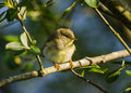 Juvenile Chiffchaff Stock Photography