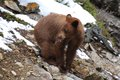 Juvenile cinnamon black bear sticking out tounge ursus americanus tongue on a rocky slope Royalty Free Stock Photography