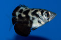 Juvenile Clouded Archerfish