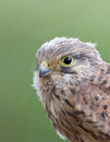 Juvenile common kestrel close portrait Royalty Free Stock Images