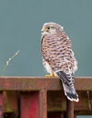 Juvenile common kestrel close portrait Royalty Free Stock Image