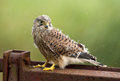 Juvenile common kestrel close portrait Stock Photos