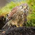 Juvenile common kestrel with a mouse Stock Images