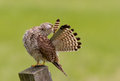Juvenile common kestrel polish his feathers Royalty Free Stock Images