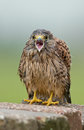 Juvenile common kestrel screams for food Royalty Free Stock Photo
