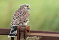 Juvenile common kestrel screams for food Royalty Free Stock Photos
