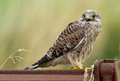 Juvenile common kestrel screams for food Stock Photography