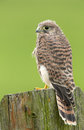Juvenile common kestrel sit s on a piec of wood Royalty Free Stock Images