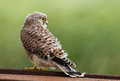 Juvenile common kestrel sits on a piece iron Stock Photos