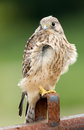 Juvenile common kestrel sits on a piece rusty iron Stock Images