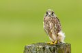 Juvenile common kestrel sits on a piece of wood Stock Photos