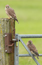 Juvenile common kestrel two sitting on a fence Royalty Free Stock Photos