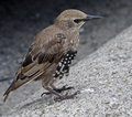 Juvenile common starling sturnus vulgaris just one of the sturnidae family found across europe Stock Image