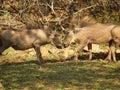 Juvenile common warthog