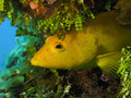 Juvenile coney a phase in the caribbean reef Royalty Free Stock Photography