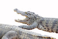 Juvenile crocodile with gaping jaws long xuyen farm mekong delta vietnam Stock Photography
