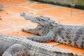Juvenile crocodile with gaping jaws long xuyen farm mekong delta vietnam Stock Photos