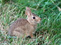 Juvenile eastern cottontail rabbit a on a lawn Royalty Free Stock Photos