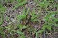 Juvenile Eastern Lubber Grasshopper Royalty Free Stock Photo