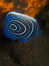 Juvenile emperor angelfish Seraya Secrets 02 Royalty Free Stock Photo