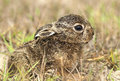 Juvenile euopean hare lepus euorpaeus hiding in the grass Royalty Free Stock Photo