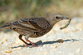 Juvenile european starling eating a bug Royalty Free Stock Images