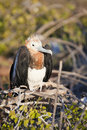 Juvenile frigate bird Stock Photography