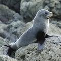 Juvenile Fur Seal Royalty Free Stock Photo
