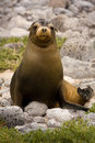 Juvenile Galapagos sea lion (Zalophus wollebaeki) Royalty Free Stock Photos