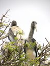 Juvenile gray and white color Painted stork bird on tree Royalty Free Stock Photo