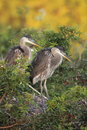 Juvenile Great Blue Herons Royalty Free Stock Photos