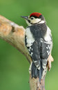 Juvenile great spotted woodpecker uvenile on a branch Stock Photo