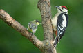 Juvenile great spotted woodpecker uvenile and a tit on one branch Stock Photo