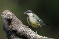 Juvenile Great Tit (Parus major) Stock Photography