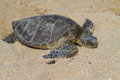 Juvenile Green Sea turtle Royalty Free Stock Photo