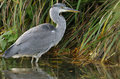 Juvenile Grey Heron Royalty Free Stock Photos