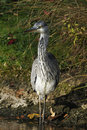 Juvenile Grey Heron Royalty Free Stock Photography