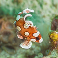 Juvenile harlequin sweetlips Stock Photography