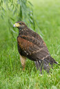 Juvenile harris hawk female used in falconry Stock Photography