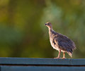 A juvenile Helmeted Guineafowl Royalty Free Stock Photo
