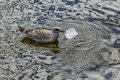 Juvenile herring gull eating plastic packaging in water Royalty Free Stock Photo